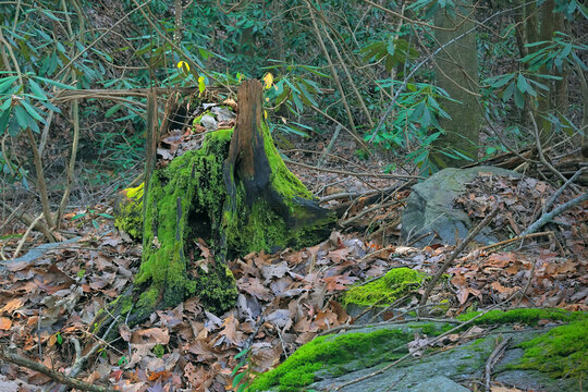 Decaying moss covered tree stump in the Cohutta Wilderness in Georgia