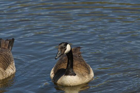 Canada Goose (Branta Canadensis) in the Water