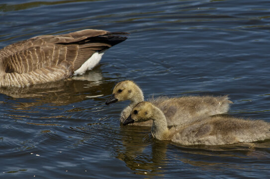 Canada Goose (Branta canadensis) and Goslings in the Water