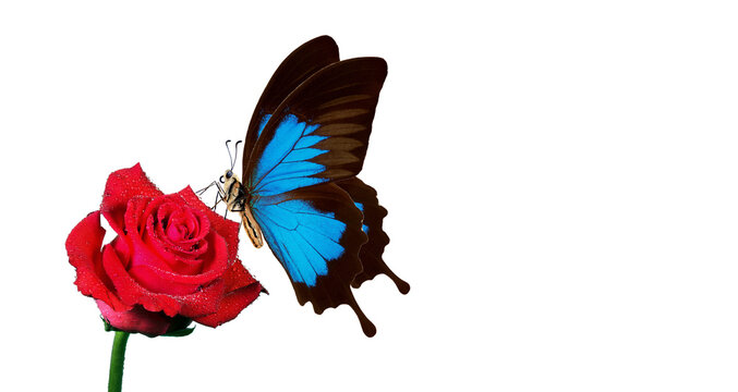 bright blue Ulysses butterfly on red rose in water drops isolated on white. copy space