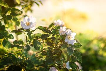 Obraz krzew kwitnącej dzikiej róży (Rosa canina) - fototapety do salonu