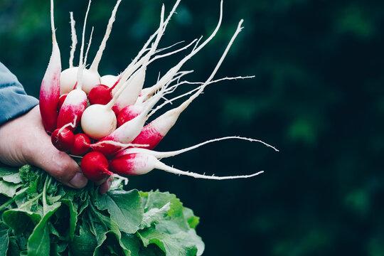 Fresh radish. Farmers hands holding harvested organic bunch of radishes.
