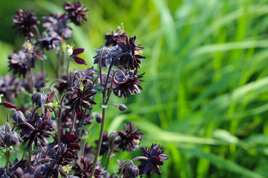 Aquilegia 'Black Barlow' flowers on a natural blurry green background