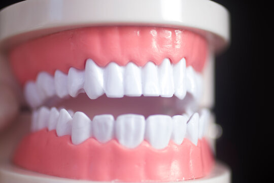 Dental white teeth model