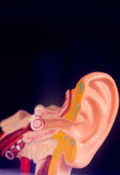 Hearing ear medical model