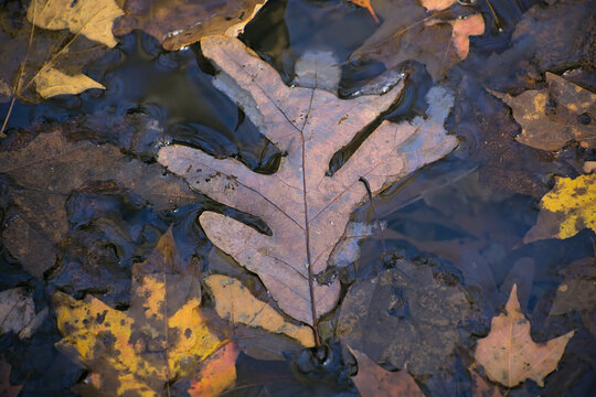 Decaying leaf in puddle of water in the Chattahoochee National Forest Mountains near Hammond Gap in Georgia