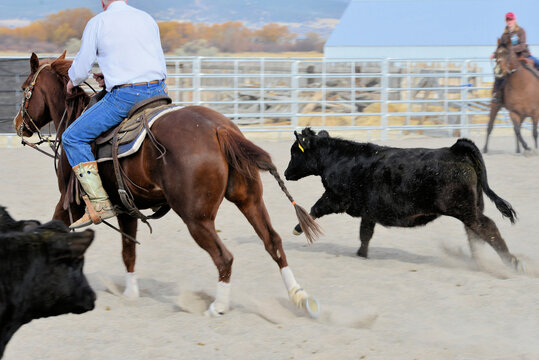 Rural Activity: Cutting hrose and rider head off a steer.