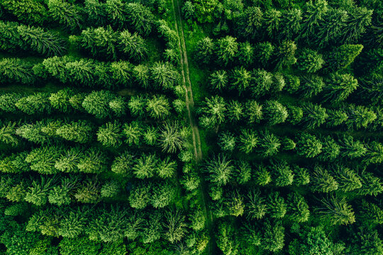 Aerial view of green forest or woods with fir trees in row and country road