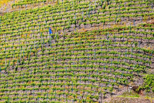 Winzer bei der Frühjahrsarbeit im Weinberg