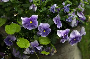 Kompozycja kwiatowa fioletowe bratki