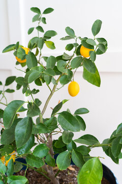 Indoor potted meyer lemon tree with ripe lemons against white wall