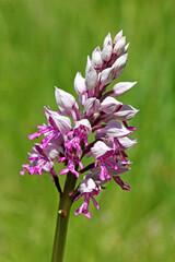 spiga fiorita di orchidea militare (Orchis militaris)