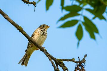 Potrzeszcz siedzący na gałęzi. Częściowo osiadły, a częściowo migrujący ptak w Europie. Ptak terenów otwartych - pól, łąk i pastwisk