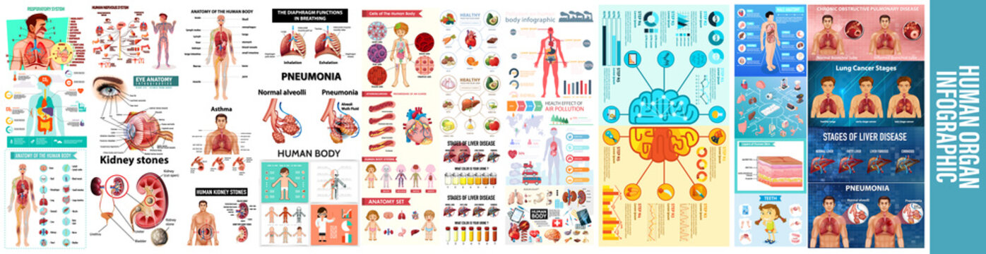 Body infographics. Human health medical vector anatomy infographic with chart, Human organs infographic set with internal body parts symbols and charts vector illustration