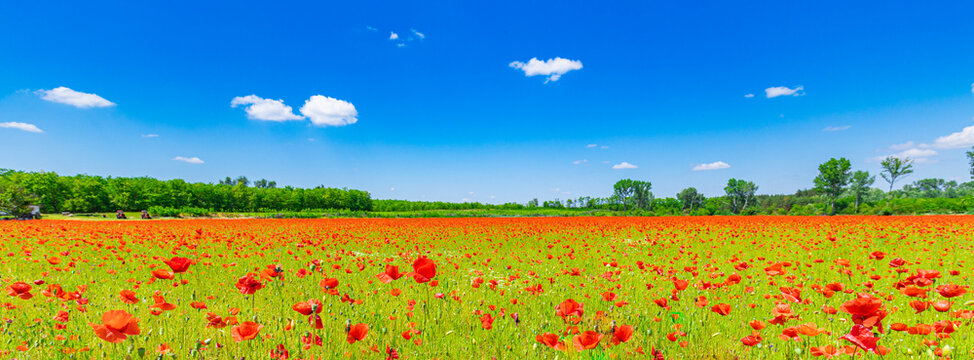 Romantic red poppy field landscape. Beautiful landscape under blue cloudy sky in spring summer. Wonderful outdoor nature background. Idyllic view, meadow flowers. Happy blooming floral view