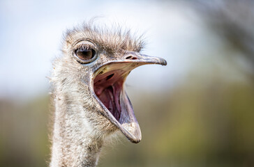 Ostrich with mouth wide open