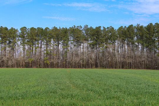 tall trees lined a grass field with clear blue sky beyond
