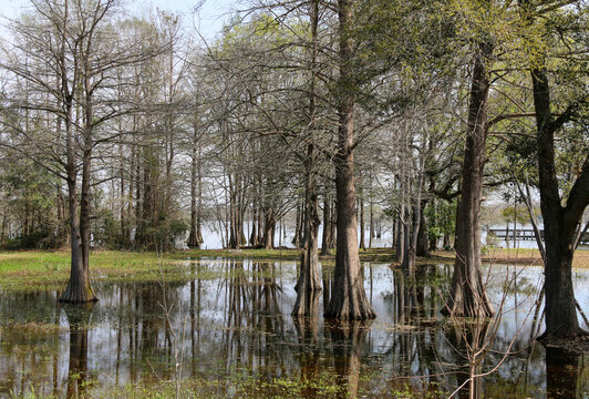 tall southern swamp trees growing out of a murky lake river body of water with hanging moss