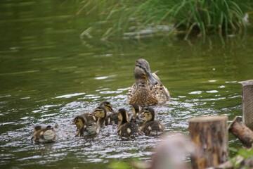 Fototapeta Kaczki ,ptaki kaczki ,rodzina ptaków ,kaczka z młodymi ,kaczęta z matką obraz