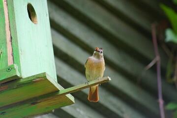 Pleszka ,ptak pleszka , kolorowy ptak stojący ptak ,samica pleszka
