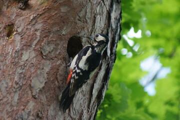Fototapeta Dzięcioł ,ptak dzięcioł , ptak przy dziupli obraz