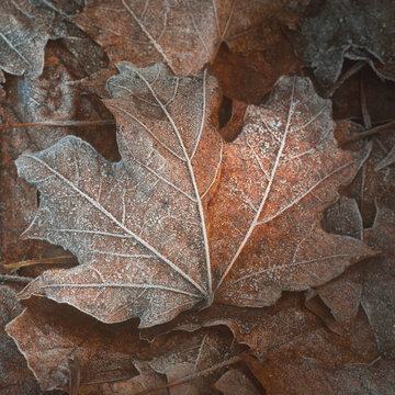 Close-up of brown maple leaves, crystal clear hoarfrost. Texture, background, wallpaper, graphic resources. Silver and golden colors. Dark tones. First snow, climate change, nature. Concept art