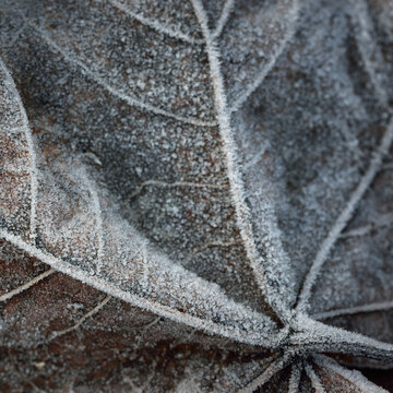 Extreme close-up of brown maple leaf, crystal clear hoarfrost. Texture, background, wallpaper, graphic resources. Silver and golden colors. Dark tones. First snow, climate change, nature, environment
