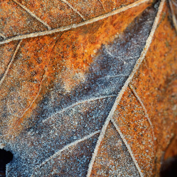 Forest floor of brown maple leaves covered with crystal clear hoarfrost. Texture, background, wallpaper, graphic resources. Silver and golden colors. First snow, climate change, nature, environment