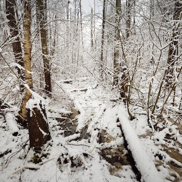 Snow-covered swamp forest after a blizzard. Trees close-up. Atmospheric landscape. Winter wonderland. Climate change, nature, environmental conservation in Europe