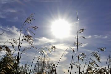 Suche, wysokie trawy na tle błękitnego nieba.