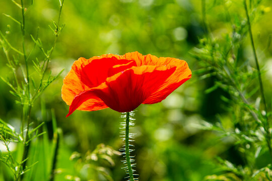 Blooming red decorative poppy.