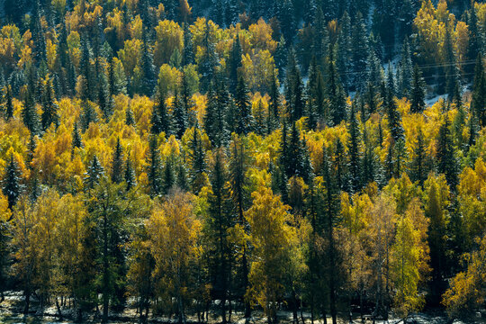 View of the autumn bright yellow forest in the Altai Republic, Russia.