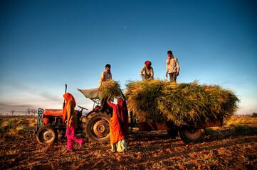 Family harvesting crops, near Jaipur, India - fototapety na wymiar