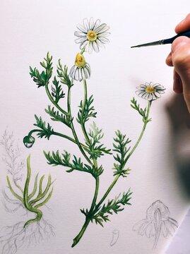 Matricaria chamomilla watercolor illustration