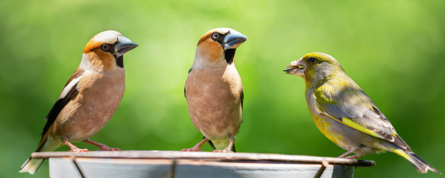 Little songbirds sitting on a bird feeder. Hawfinch ( Coccothraustes coccothraustes) and european greenfinch (Chloris chloris)