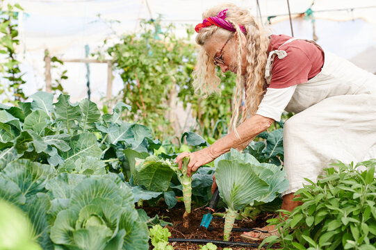 Senior woman digging up a cabbage