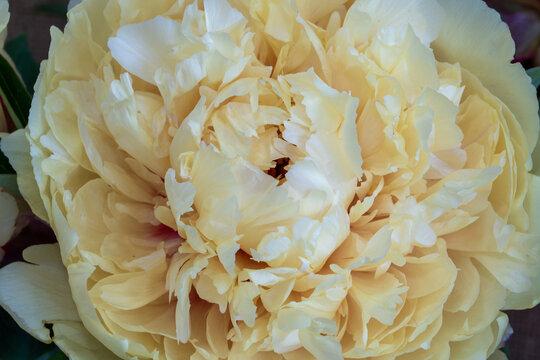 A closeup photo of a lemon chiffon peony flower