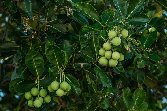 Calophyllum inophyllum is a large evergreen plant, commonly called tamanu, mastwood, beach calophyllum or beautyleaf. Kuilei Cliffs Beach Park, Honolulu, Oahu, Hawaii
