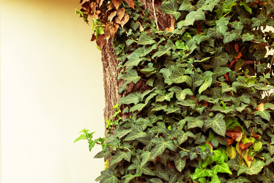 Ivy covered tree in a patio in a guest house. Russia, Black Sea, Krasnodar Region, Anapa.