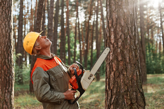Woodsman wearing uniform and protective helmet holding saw in hands and looking , at high tree he needs to cut, professional deforestation, timber working, using chainsaw.