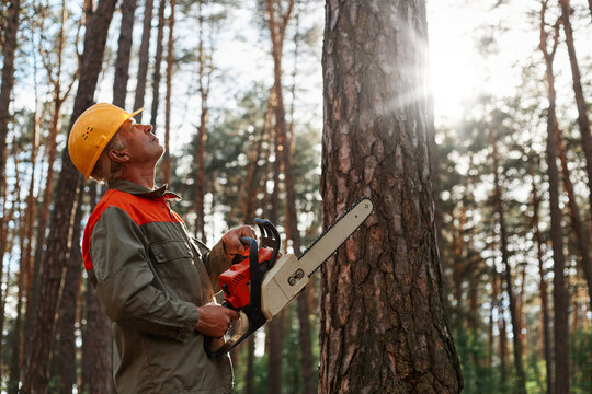 Side view of woodsman with chainsaw in hands looking at tree for cutting, wearing yellow protective helmet and uniform, illegal deforestation, forester working.