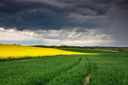 canola field on German farmland