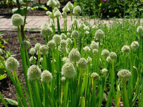 Welsh onions flowers