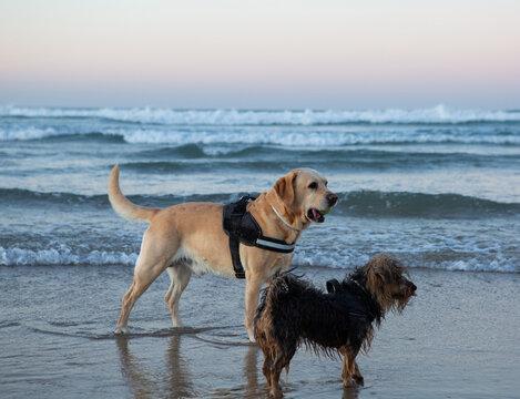 Labrador and terrier