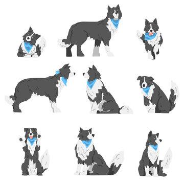 Border Collie Dog in Various Poses Set, Smart Shepherd Pet Animal with Black White Coat in Blue Neckerchief Cartoon Vector Illustration