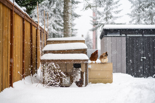 Chickens On Coop