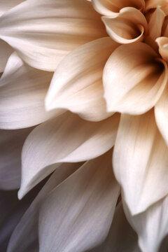 Pale Pastel Dahlia Petals In Morning Light
