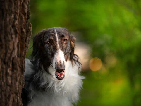 Portrait of the Russian borzoi on the green background