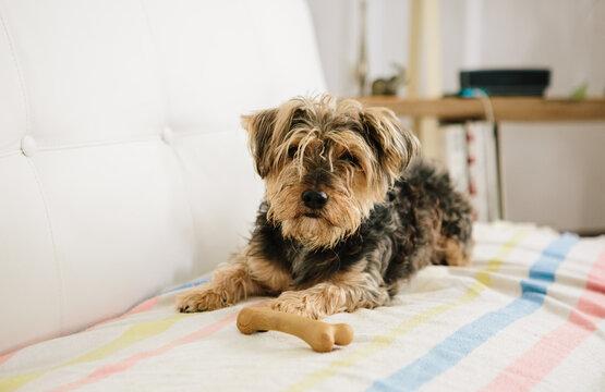 Yorkie crossbreed dog with bone