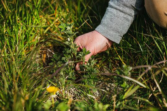 Alfalfa growing in between grass